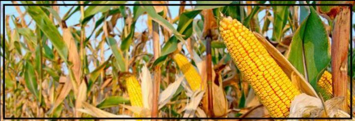 corn field w border